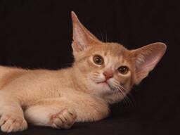 Абиссинский котенок окраса фавн