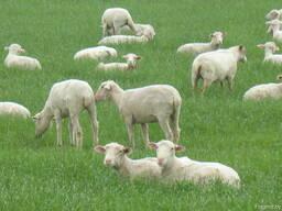 Бараны овцы ягнята