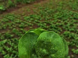 Базилик зеленый кинза укроп петрушка шпинат рукола