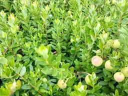 Cаженцы клюквы Стивенс садовой из Брестской области