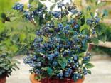 Чудо-ягодница «Домашние грядки» – Голубика - фото 1