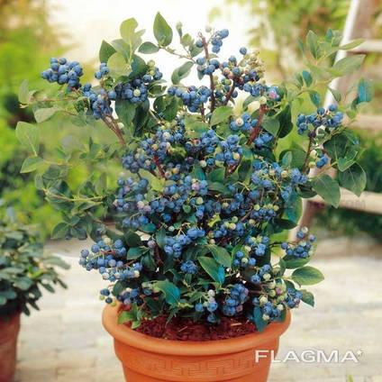 Чудо-ягодница «Домашние грядки» – Голубика