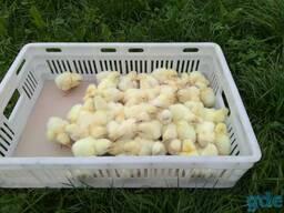 Цыплята бройлеров суточные . Кобб-500, Росс-308