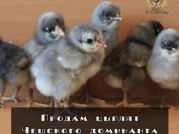Цыплята Чешского доминанта