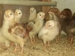 Цыплята от несушек