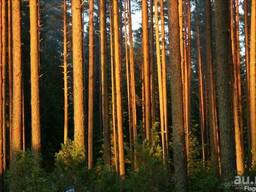 Древесина на корню
