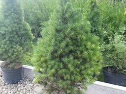 Ель канадская Рэйнбоуз Энд (Picea glauca Rainbow's End). ..
