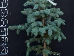 Ель колючая (Picea pungens) Baby Blue
