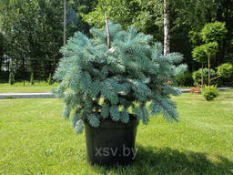 Ель колючаяГлаука Глобоза (Picea pungens Glauca Globosa). ..
