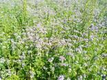 Фацелии семена - фото 1