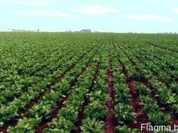 Фунгициды для картофеля