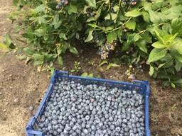 Голубика садовая мелким оптом и в розницу