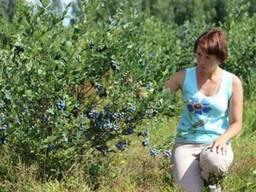 Голубика садовая саженцы - фото 3