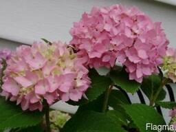 Гортензия розовая хамелеон саженцы