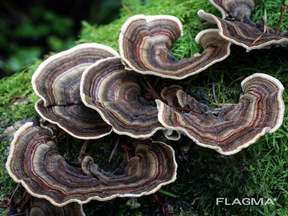 Гриб Трутовик многоцветный (Trametes versicolor)