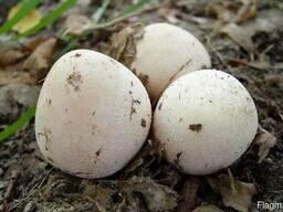 Гриб Весёлка или ведьмино яйцо