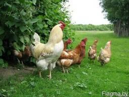 Камешки (добавка для улучшения пищеварения домашней птицы)