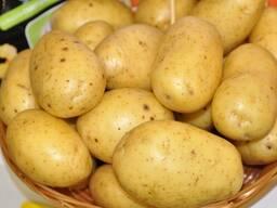 Картофель ранний опт