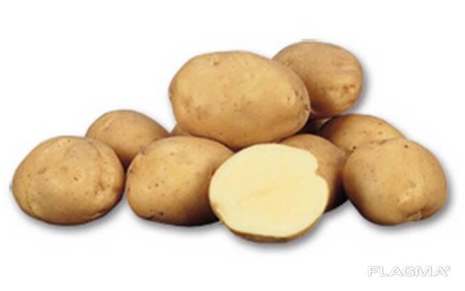 Картофель продовольственный разных сортов 5