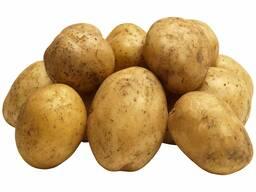 Картофель семенной