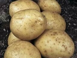 """Картофель сорта """"Скарб"""" с доставкой в Краснодарский Край"""