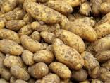 Картофель, свежий - фото 1