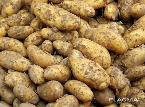 Картофель, свежий