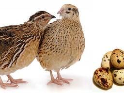 Комбикорм для цыплят от 2-х до 4-х недель, (для перепелов)
