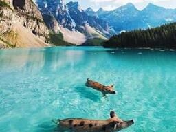 Комбикорма для свиней следующих видов: