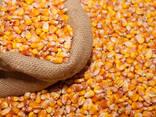 Кукуруза - фото 1