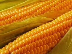 Кукуруза фураж. продаем