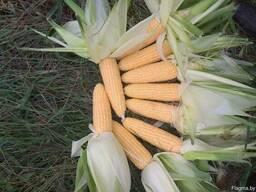 Кукуруза сладкая свежая и замороженная