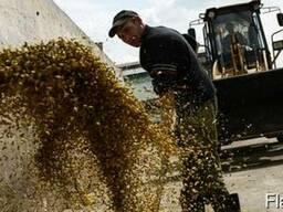 Кукурузу, фуражные пшеницу, рожь, ячмень, тритикале
