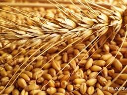 Масличные, зерновые, кормовые! Зерно, 2020 года/уборки
