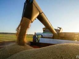 Купим зерно фуражное (можно зараженное)
