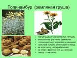 Купить лист верхушку листа соцветие и лепестки топинамбура в Белоруси - фото 1