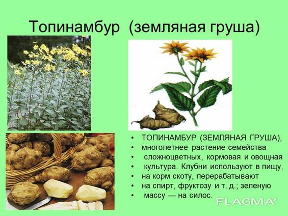 Купить лист верхушку листа соцветие и лепестки топинамбура в Белоруси
