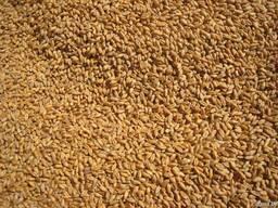 Куплю фуражную пшеницу