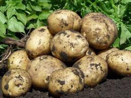Куплю картофель на переработку .