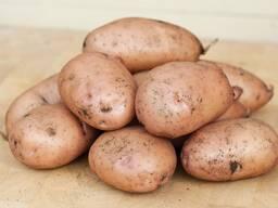 Куплю картофель сорт Королева Анна, Бриз, Галла