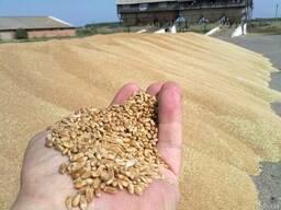 Куплю пшеницу, ячмень фуражную