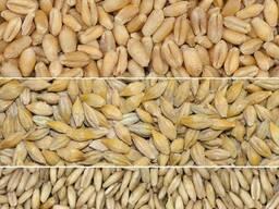 Куплю пшеницу, ячмень, овёс в мешках