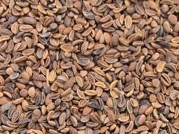 Куплю семена Фацелии