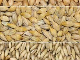 Куплю Пшеницу Дорого