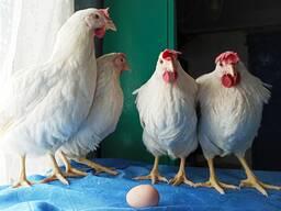 Молодняк кур и куры несушки