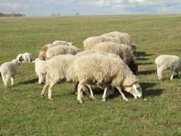 Молодняк овец породы прекос