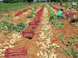 Молодой картофель урожай 2020г, калибр 55