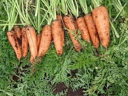 Картофель, морковь, свекла, капуста.