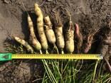 Морковь - фото 1