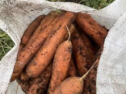 Морковь от производителя